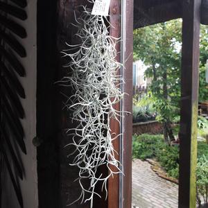 チランジア・ウスネオイデス 太葉35cm(Tillandsia usneoides)「スパニッシュモス」