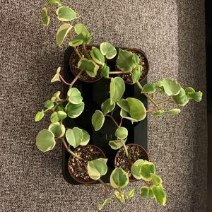 観葉植物 ペペロミア セルペンス 班入り 抜き苗多肉植物