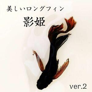 【おたまめだか】美しいロングフィン 影姫 ver.2の 有精卵 10個+α(ペアの卵 ラメ オロチ サタン ゼウス ヒレ長 松井 黒 ブラック 墨 )