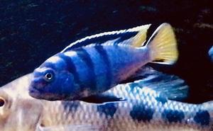 アフリカンシクリッド labidochromis mbamba bay  極美個体 繁殖カルテット!