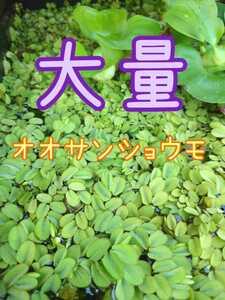 ☆オオサンショウモ☆メダカの浮き草に☆