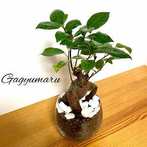 そのまま飾れる!ガジュマル形◎ハイドロカルチャー 観葉植物 グリーン インテリア