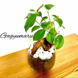 そのまま飾れる!ガジュマル ハイドロカルチャー 観葉植物グリーン インテリア