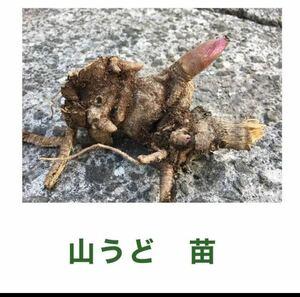 山ウド 苗 5株