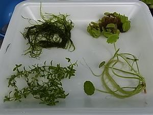 水草4種類ウィローモス パールグラス オオサンショウモ ウォーターマッシュルーム