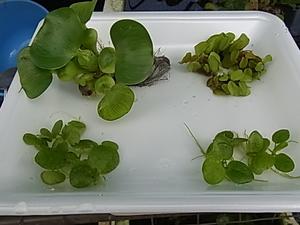 浮き草4種類 ホテイソウ ドワーフフロッグピット オオサンショウモ アマゾンフロッグピット