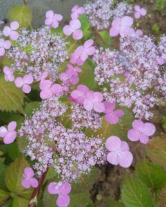 ヤマアジサイ 大山 花の苗