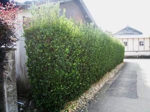 マサキ 0.5m10.5cmポット 1本【1年間枯れ保証】