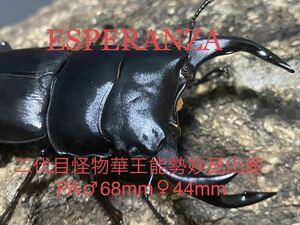【ESPERANZA】二代目怪物華王血統 能勢妙見山産 極太オオクワガタ 新成虫、未使用、未後食、♂68mm×♀44mmペアの出品です