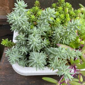 シルバーペット セダム 多肉 多肉植物  Sedum グランドカーペット 寄せ植え カット苗