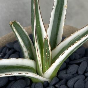 【希少種】アガベ 氷山 7/Agave victoriae-reginae Hyouzan 観葉植物 多肉植物 珍奇植物 ビザールプランツ