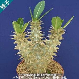 多肉植物 塊根植物 種子 種 Pachypodium Horombense パキポディウム ホロンベンセ マダガスカル 種子 10粒