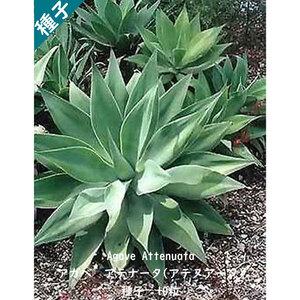 多肉植物 種子 種 アガベ アテナータ Agave Attenuata ツルボラン科 リュウゼツラン属 初緑 種子10粒