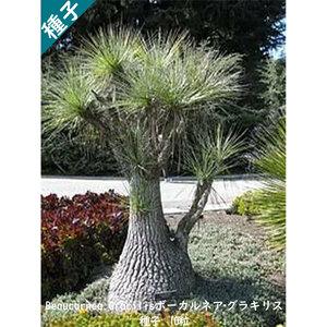 観葉植物 種子 種 Beaucarnea Gracilis ボーカルネア グラキリス トックリラン インテリアグリーン 10粒