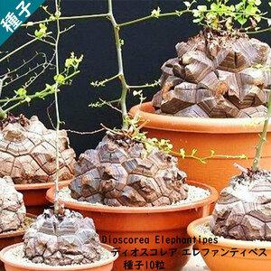 多肉植物 塊根植物 種子 種 ディオスコレア エレファンティペス Dioscorea Elephantipes 亀甲竜 ヤマノイモ属 種子10粒