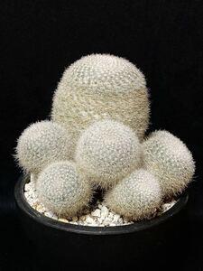 銘品 マミラリア 翁玉 Mammillaria klissingiana 群生 造り込み株 締め造り レア品種 白絹丸 雪絹丸 サボテン 多肉植物