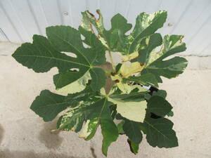 斑入イチジク ② 実にも斑が入る 草丈25cm、15cm鉢作り込み 10-19