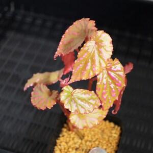 【原種・発根済み】ベゴニア・ネグロセンシス①/ Begonia negrosensis【パルダリウム/テラリウム/熱帯植物/観葉植物/珍奇植物】