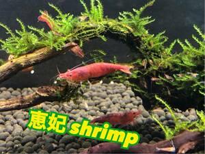 赤いミナミヌマエビ スーパーレッド 稚エビ20匹+a 水草 繁殖ビオトープ 2
