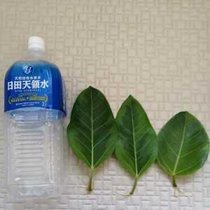 フィカスベンガレンシス 根付き葉挿し苗 3枚セット