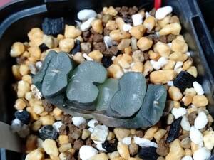 ガラスコンゲスタ congesta  Haworthia truncata ハオルチア 玉扇 多肉植物