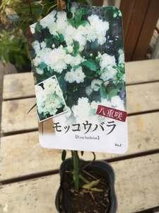 モッコウバラ 白花八重咲 3.5号 鉢植え ガーデニング アーチ オベリスク