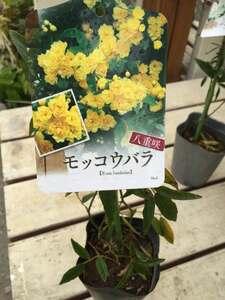 モッコウバラ 黄花八重咲 3.5号 鉢植え ガーデニング アーチ オベリスク