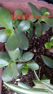 金のなる木 抜き苗とオリヅルラン抜き苗