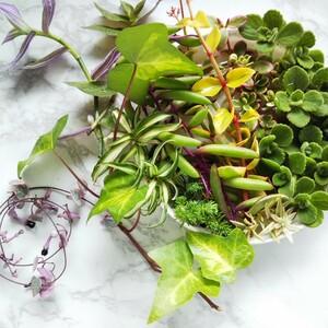 多肉植物と観葉植物のカット苗