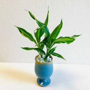 ハイドロカルチャー ドラセナ ワーネッキー 小石原焼 陶器 観葉植物