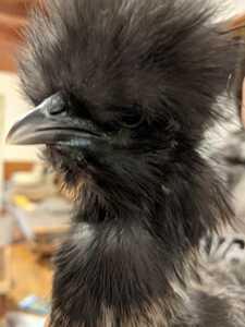 烏骨鶏  米国シルキー種卵  6個 5日以内 即決  / 自給自足 循環農法 庭先養鶏