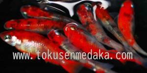 【特選めだか 当方作出・真朱メダカ(真に赤くなる血統)究極赤血統 スーパーレッド!! ~錦鯉のよう~ 4匹+補償1匹 medaka】