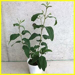 レモンユーカリ3.5号ポット苗【品種で選べるハーブ苗/1個売り】学名:Eucalyptus