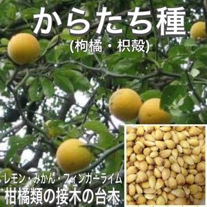 からたち種(枸橘・枳殻) 20粒