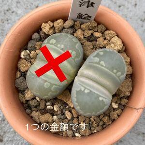 【多肉植物】リトープス 大津絵 残り1