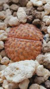 リトープス フルビセプス C170 種子15粒