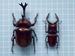 標本 カブトムシ 80.6ミリ ノコギリクワガタ 63.0ミリ 未展足 茨城
