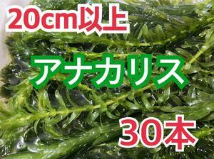 送料無料 アナカリス 20cm以上30本 即決価格 死着保証なし 送料込 無農薬 ザリガニ メダカ 金魚 水草 産卵藻にも エビ 冬支度に
