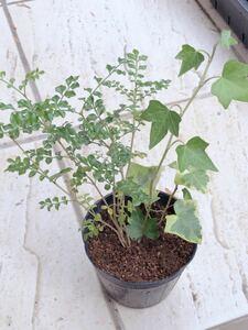 シマトネリコ 根付き 抜き苗 アイビー苗 2種 根付き 抜き苗