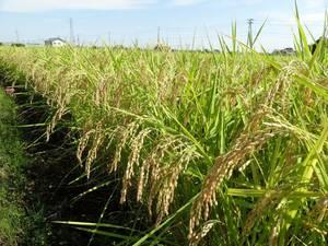 ★新米 令和3年度 新潟 コシヒカリ 農家出品 玄米 30Kg