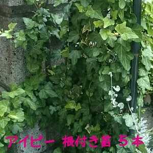 《送料73円~》アイビー 苗根付き5本■斑1本入り■ヘデラ・ヘリックス