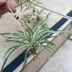 【約30~40個】オリヅルラン 子株大量 寄せ植えに 初心者向け ガーデニング 観葉植物 オリズルラン 折り鶴 苗 簡単に増える