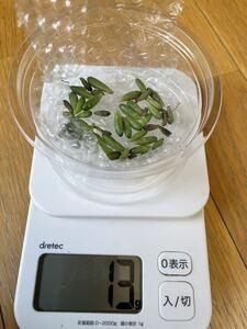 【虹の玉の葉っぱ】多肉植物 ガーデニング 葉さし用 送料73円 葉挿し用 いっぱい 簡単 抜き苗