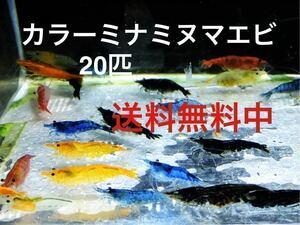 カラーミナミヌマエビ 20匹 メダカ 水草 金魚 アナカリス 水槽 熱帯魚 ミナミヌマエビ 赤いミナミヌマエビ