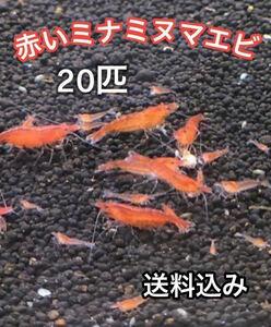 赤いミナミヌマエビ 20匹 ミナミヌマエビ メダカ 水草 金魚 アナカリス 水槽 熱帯魚