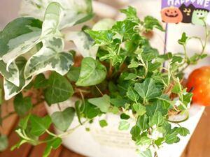 アイビー ヘデラ たくさんの寄せ植え  ポトスステイタス ハロウィンピックつき