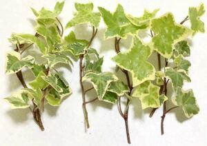 ◆斑入り、アイビー、挿し穂、挿し木6本◆