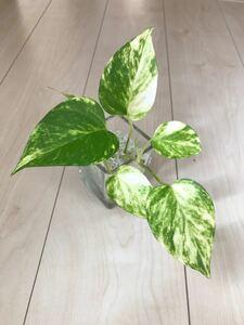 観葉植物 ポトス ガラス容器 ハイドロカルチャー 水栽培 ガラス カラーサンド インテリア小物