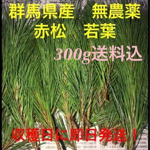 群馬県産天然無農薬の赤松松葉 新芽300g!収穫日に発送!10月18日収穫発送予定