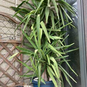 ユッカ  青年の木  2芽 (挿し芽用と根付き)